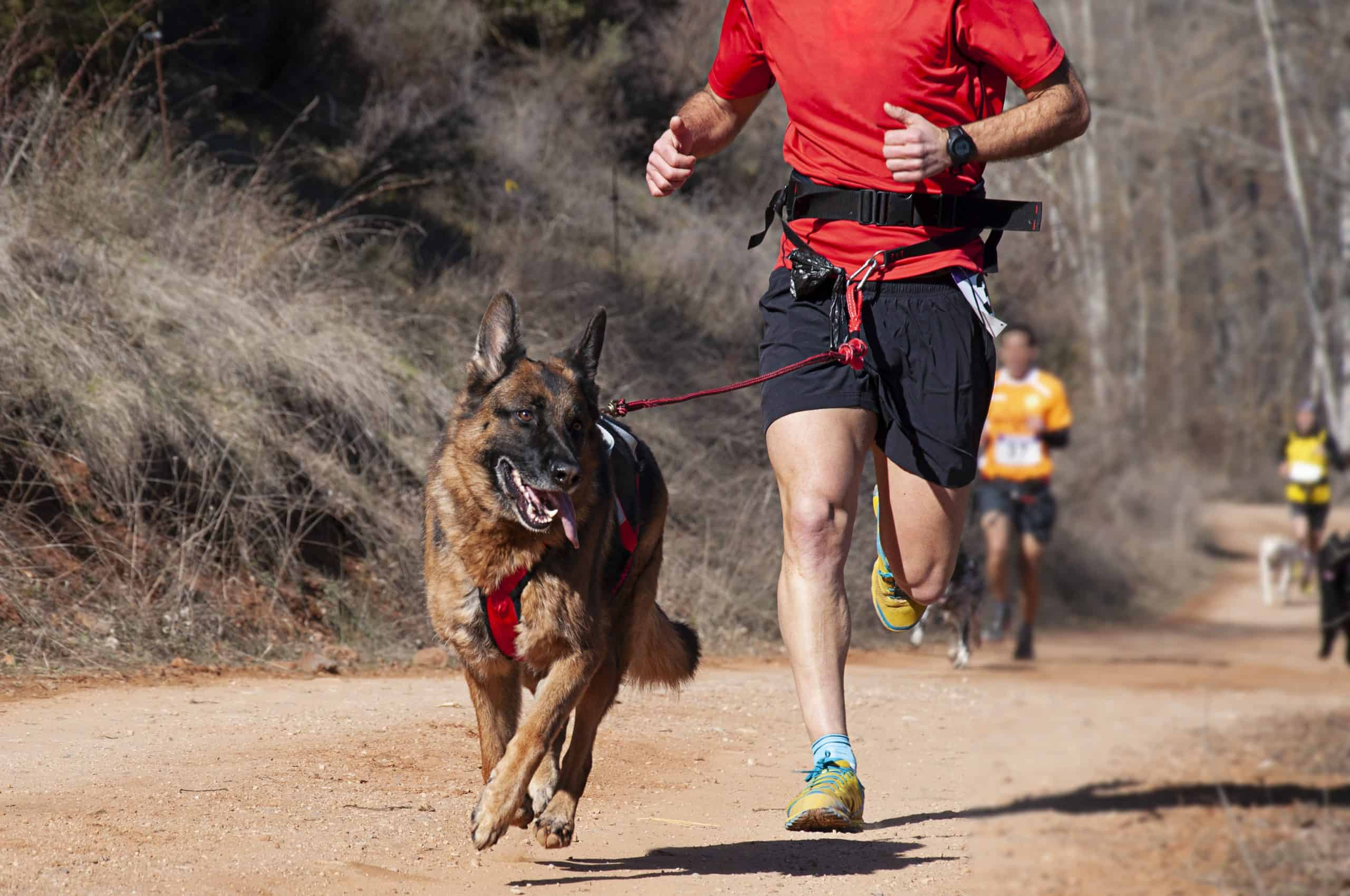 A German Shepherd going running with his Dad, a wonderful way to help your pup lose weight - but please remember this wont suit all dogs, and they may need to build up to this!