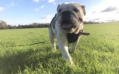 Working up to Recall – How Rove gets your dog off-lead