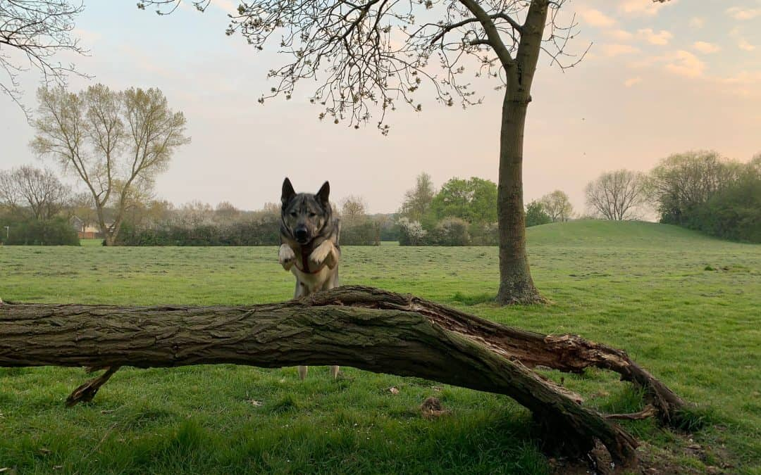 Dog Parkour in your Local Park