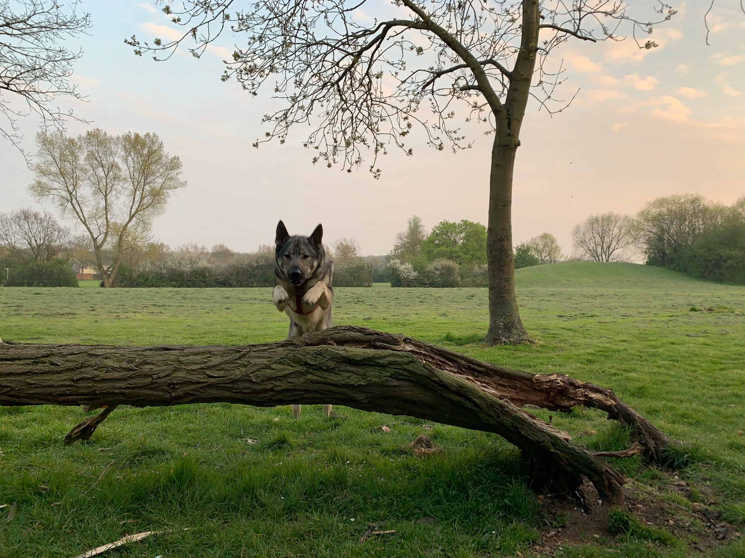 Indie the GSD jumping over a fallen tree for parkour