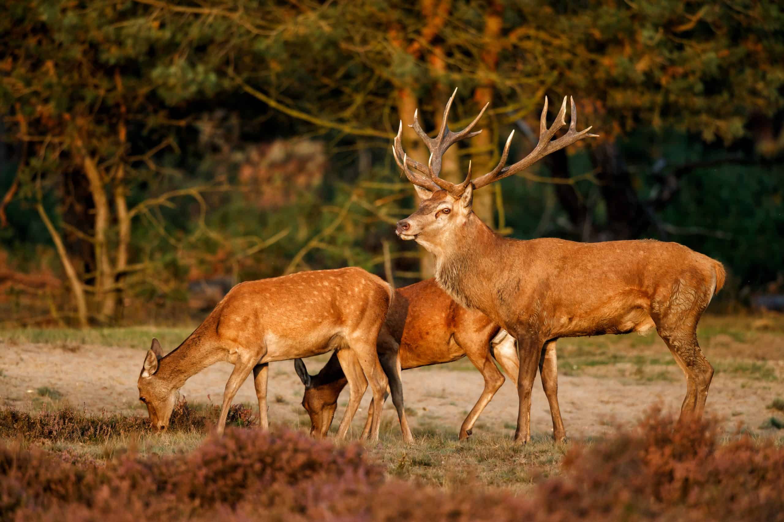 Red Deer from where our wonderful split antlers can be sourced!
