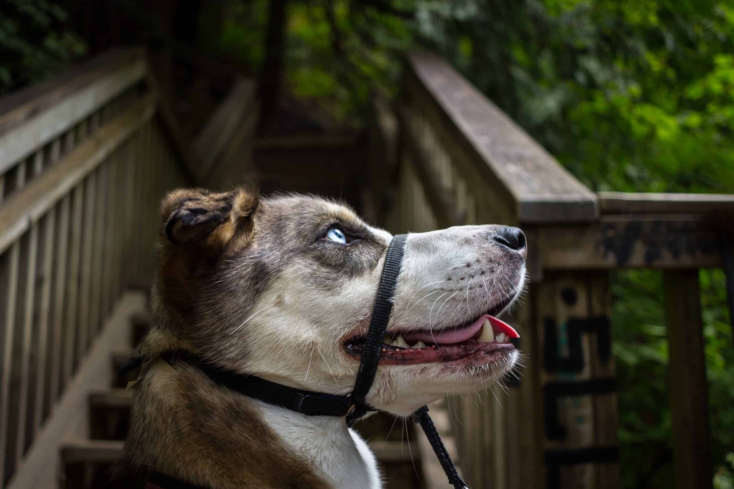 Husky Mix wearing a head halter outside