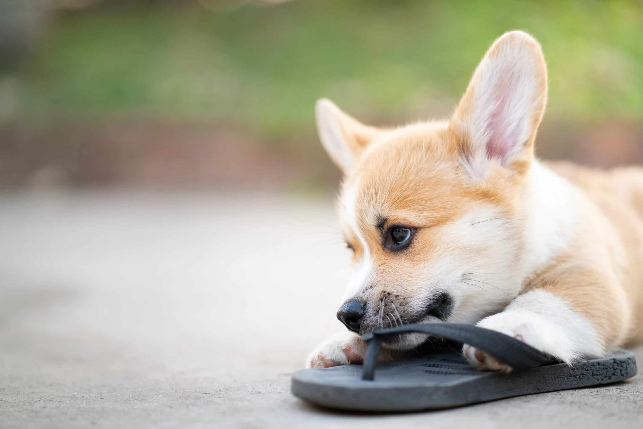 Welsh corgi dog pembroke puppy chewing on owners shoes