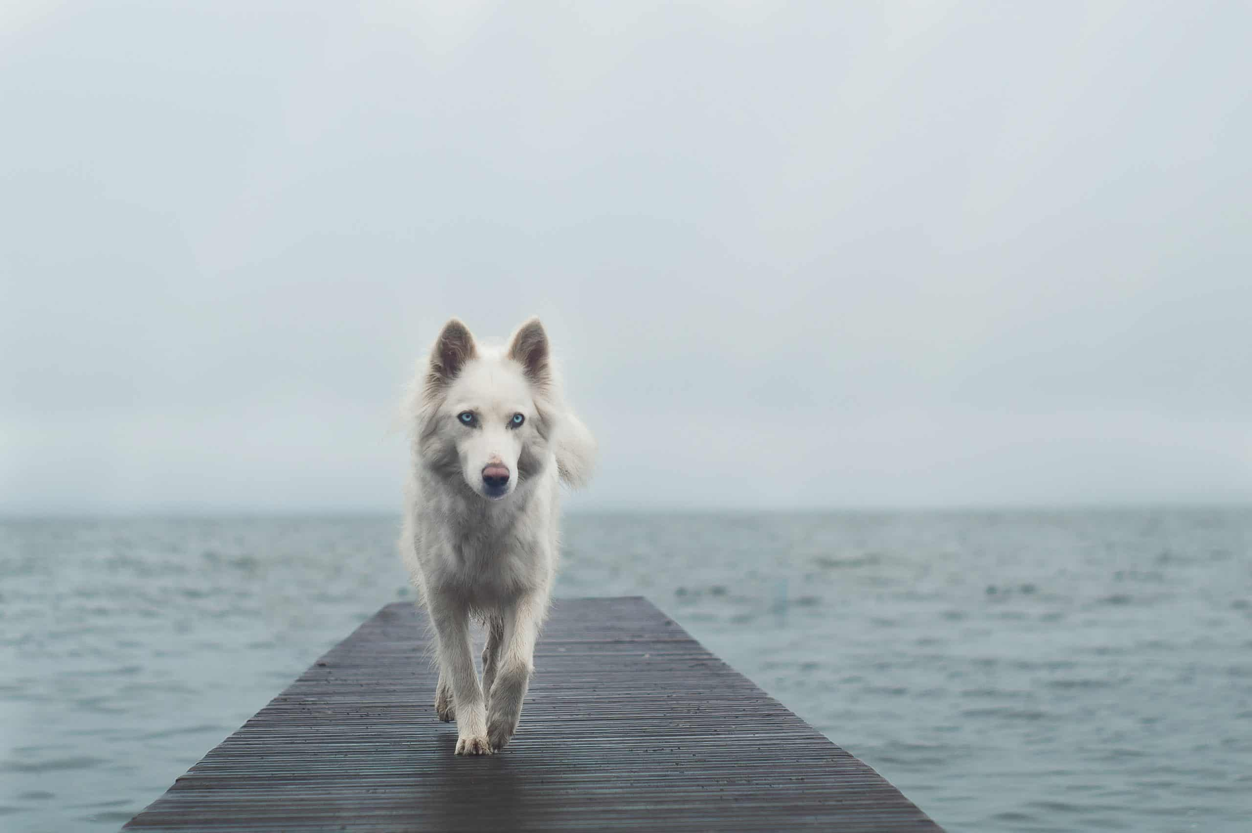The Yakutian Laika - promise it's not a white German Shepherd!
