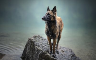 9 Dog Breeds That Definitely Are Not German Shepherds