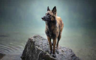 9 Dog Breeds That Definitely Are Not German Shepherds