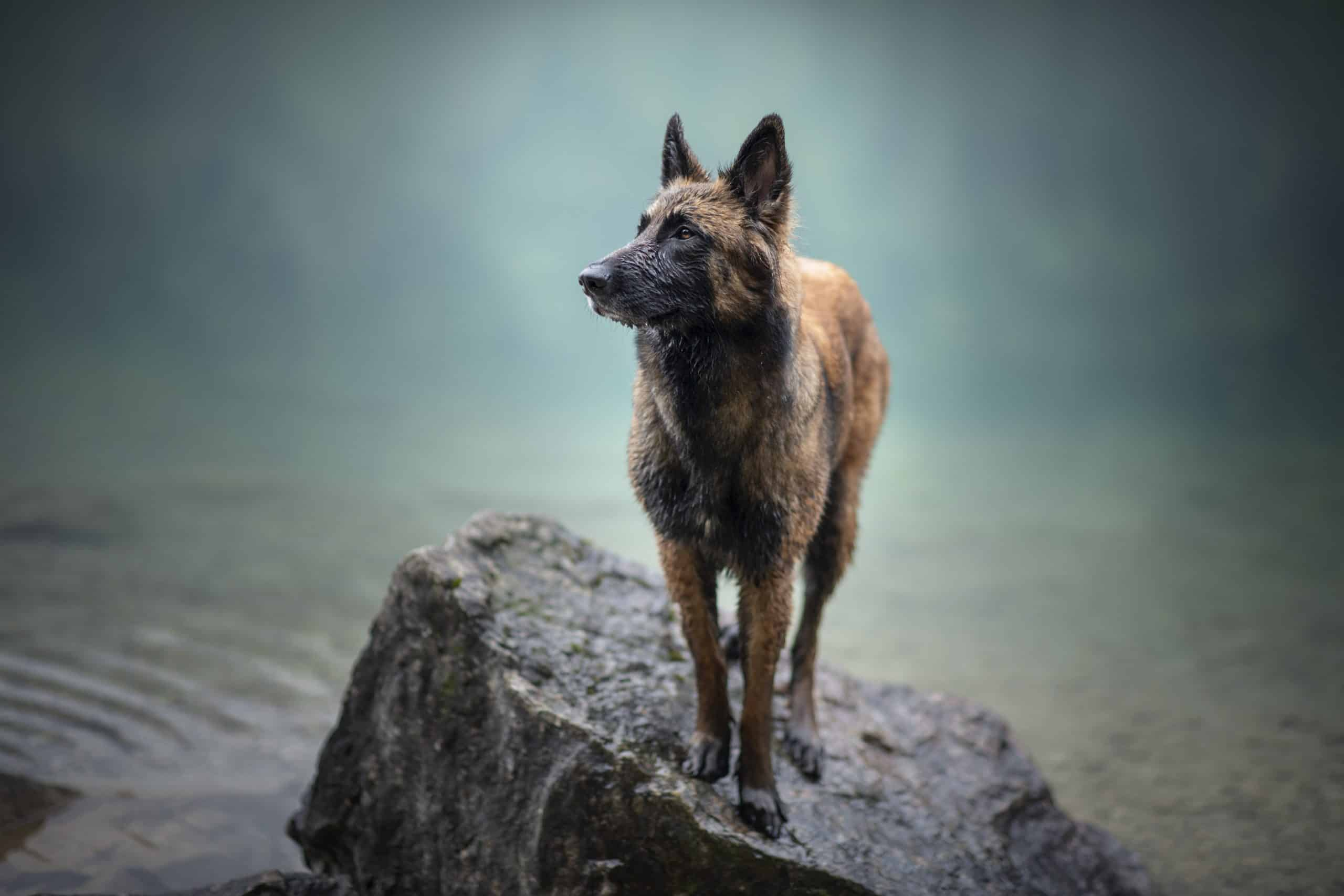 Is this a German Shepherd? Or a different breed entirely?