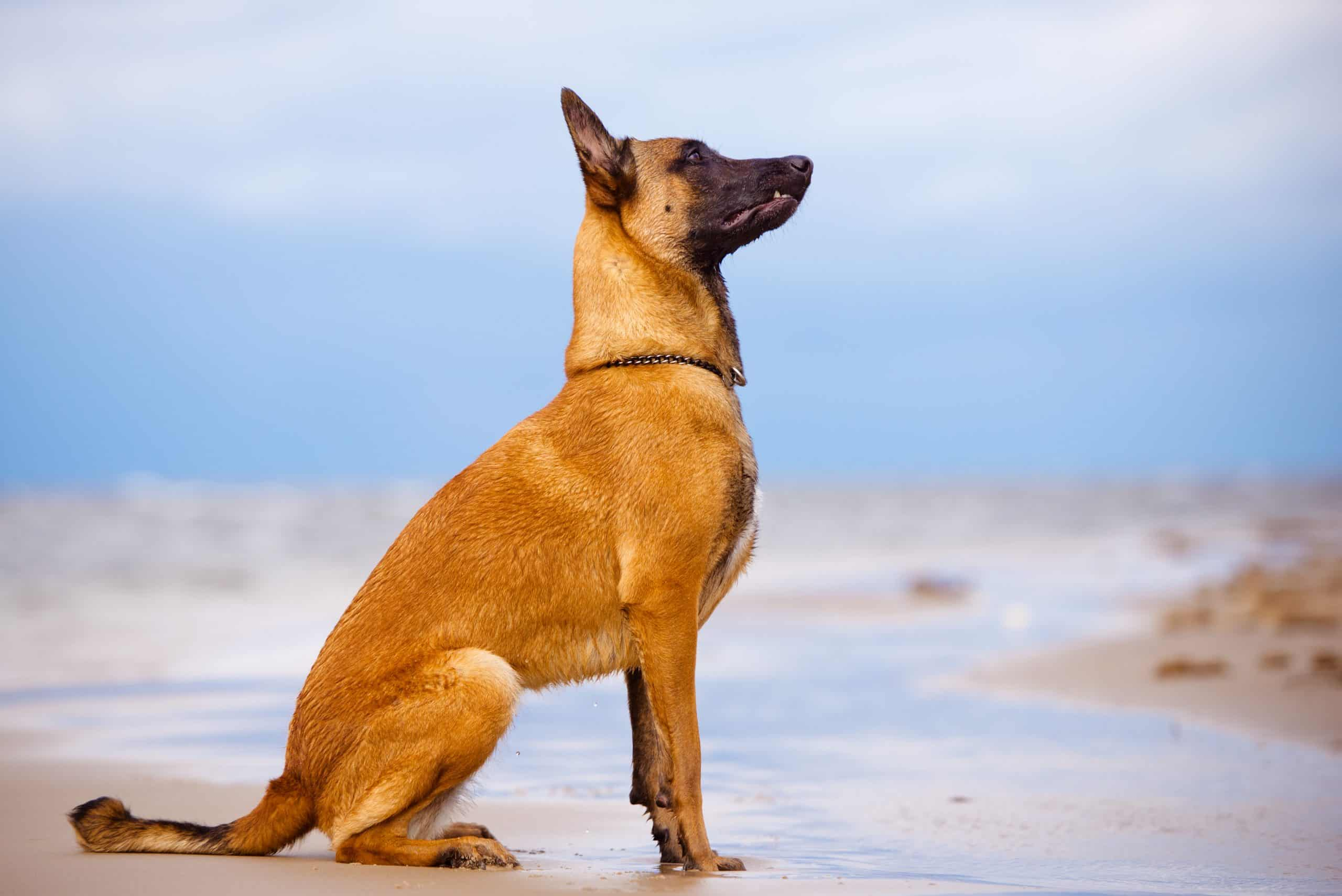 belgian malinois - who is definitely not a German Shepherd!