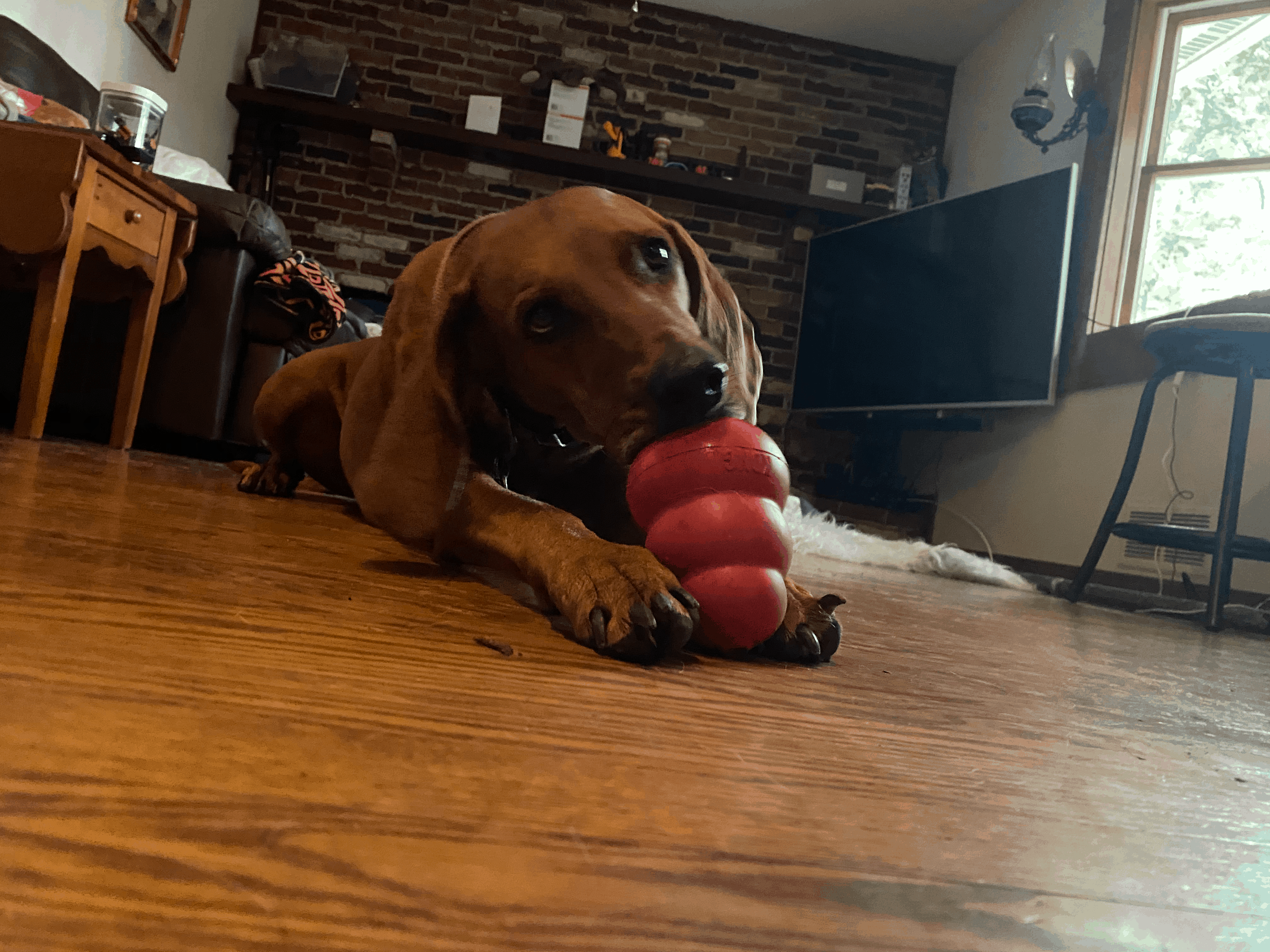 Shelby Coonhound using Kong