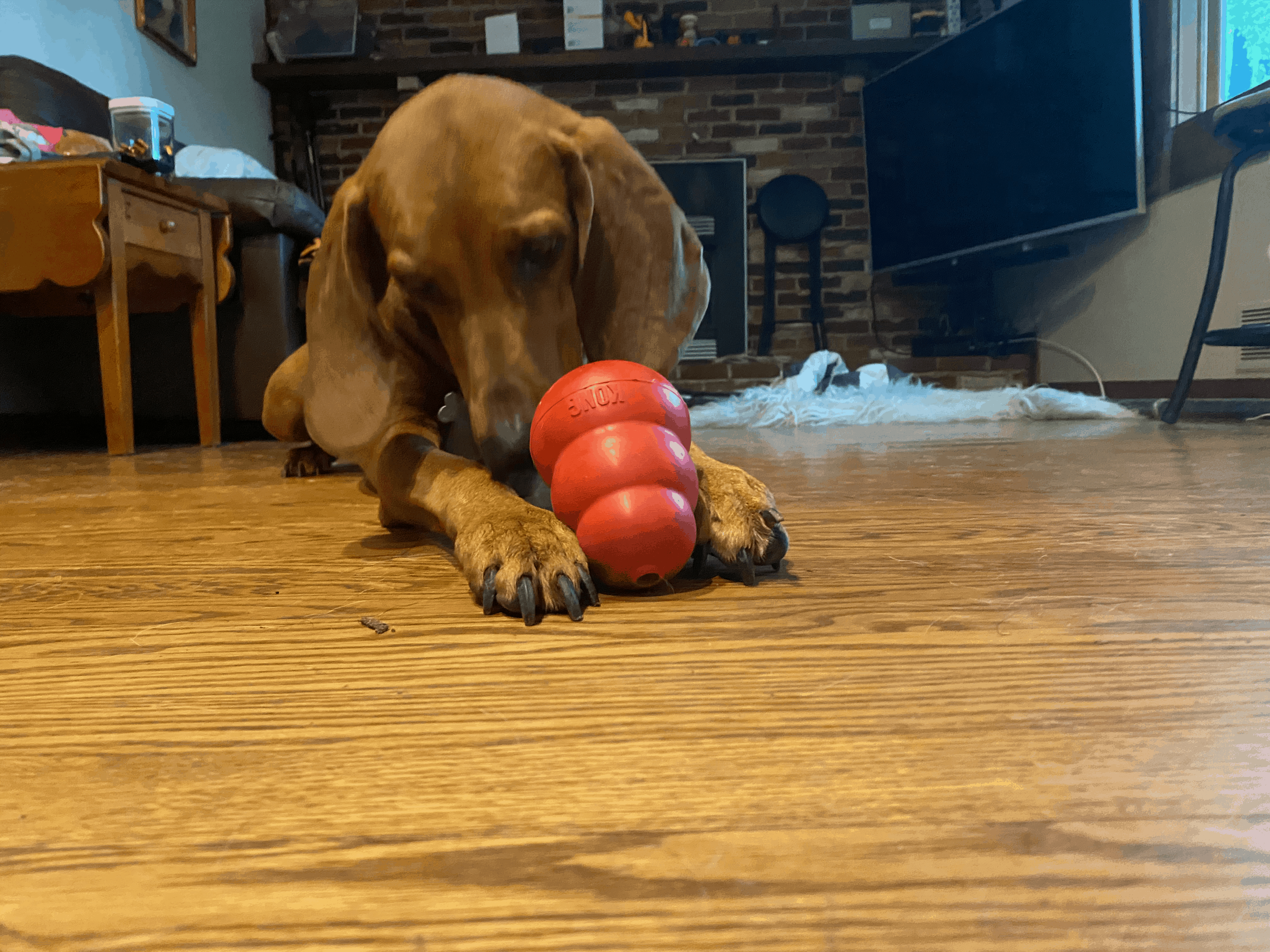 Shelby Redbone Coonhound using Kong