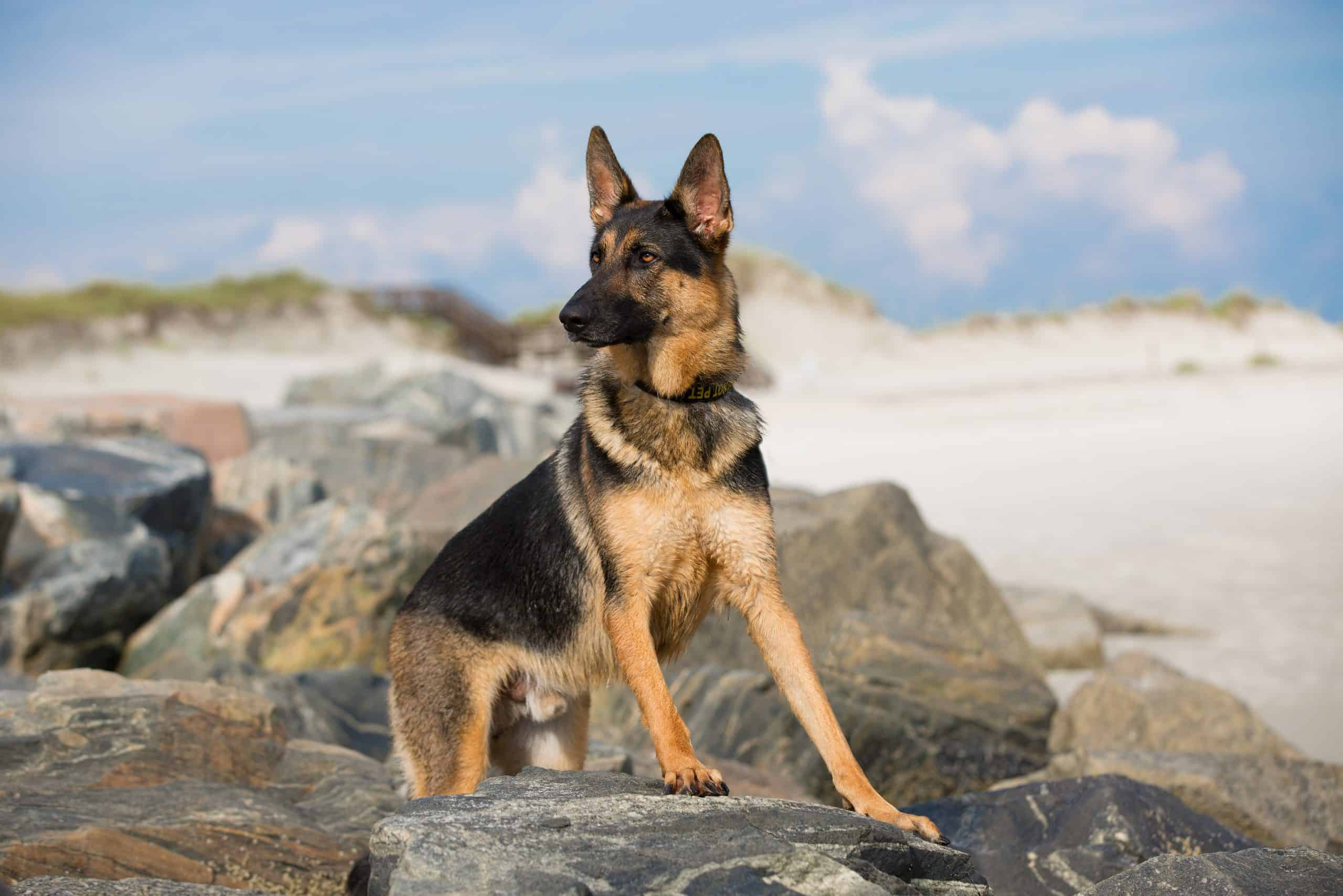 German shepherd at the beach wondering whether its the right time to spay or neuter