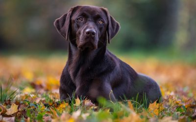 When Should I Spay Or Neuter My Labrador Retriever?