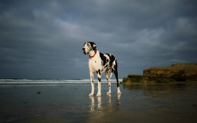 When Should I Spay Or Neuter My Great Dane