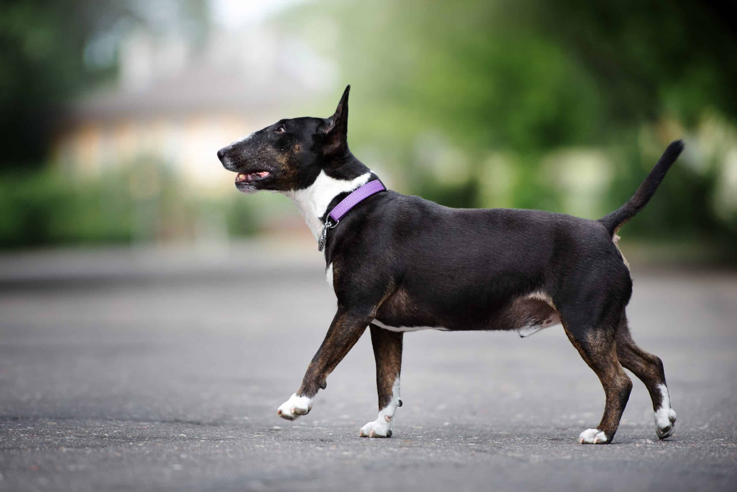 english bull terrier wearing a martingale collar