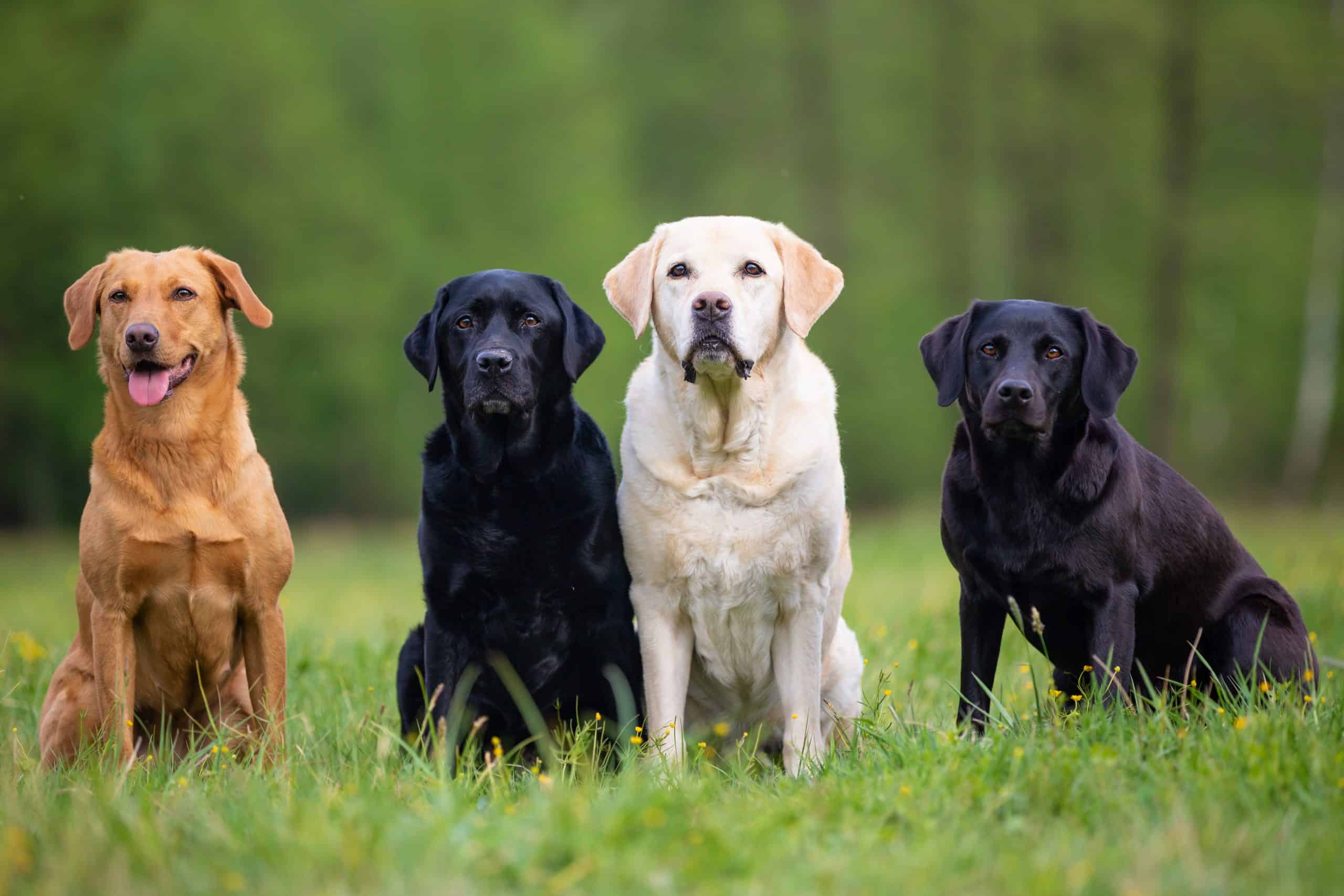 Labrador retrievers - black, chocolate, yellow, golden, fox red - when should they be spayed neutered castrated?