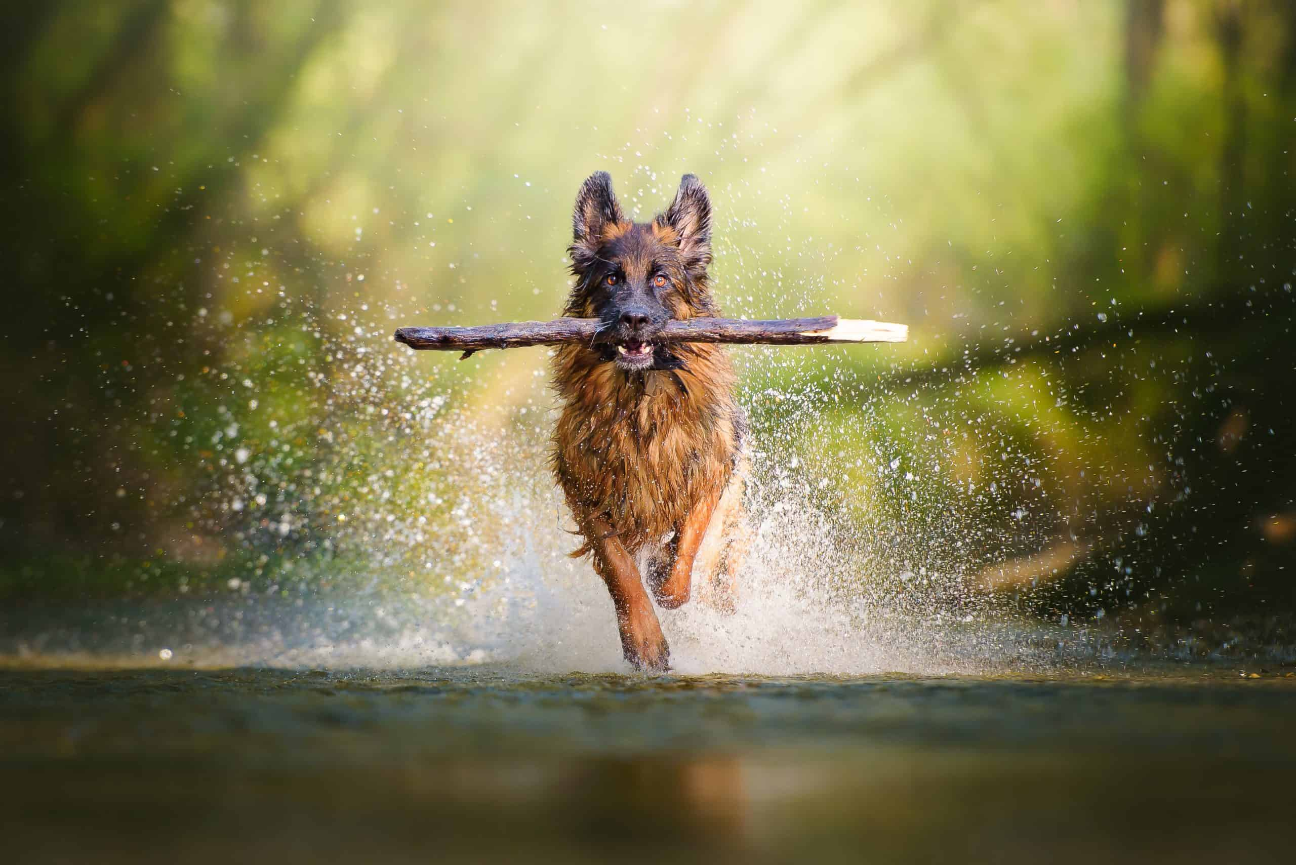 German shepherd running through river with stick wondering whether its the right time to spay or neuter