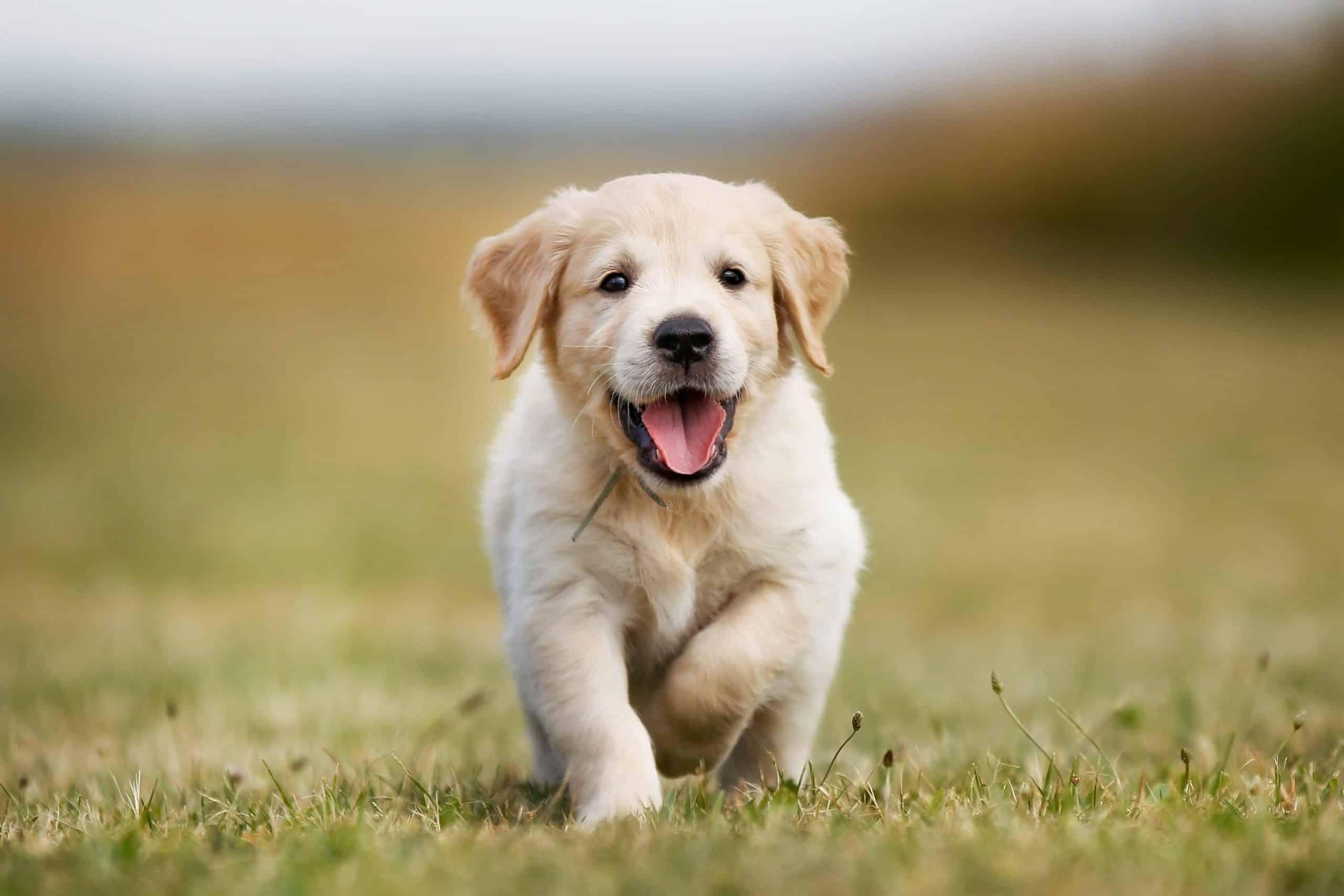 Cute Golden retriever puppy running free - early spay neuter when should I spay or neuter my Golden Retriever?