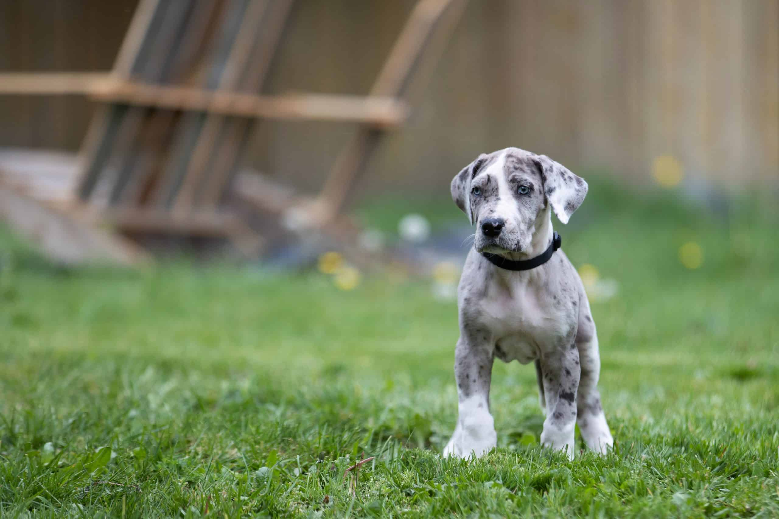Great Dane puppy - when should they be spayed neutered castrated?