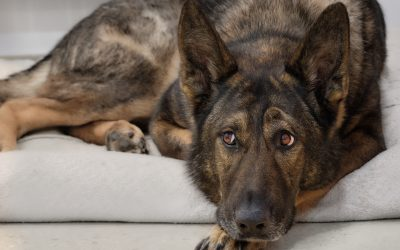 When should I Spay Or Neuter my German Shepherd Dog?