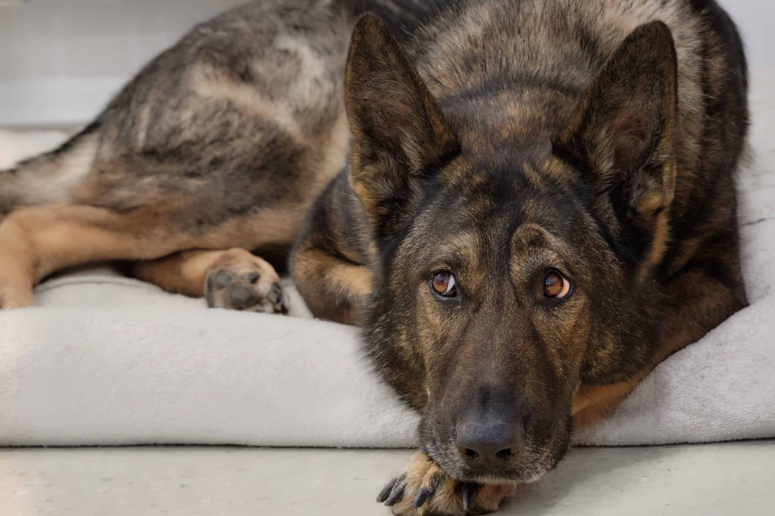 German shepherd looking at their guardian wondering whether its they will be spayed or neutered