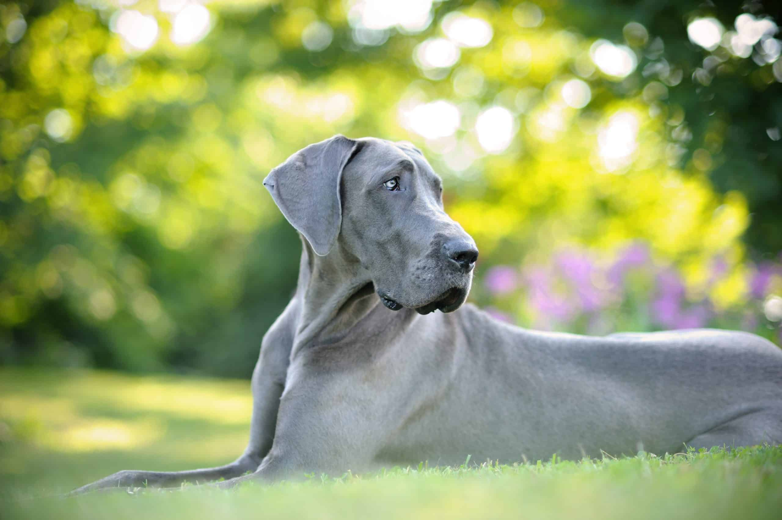 Great Danes - when should they be spayed neutered castrated?