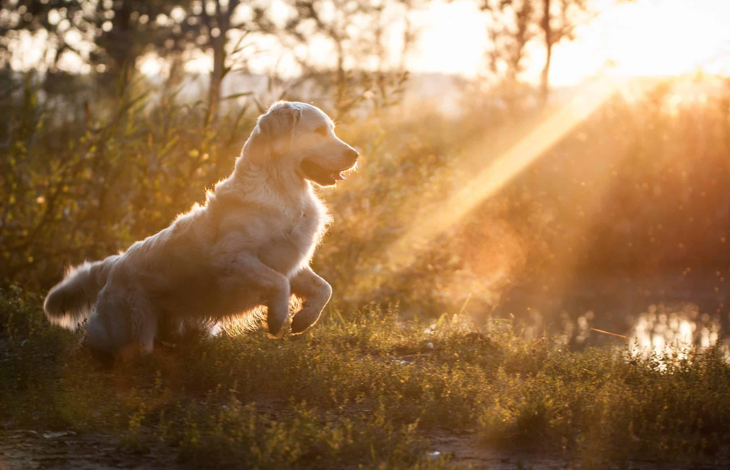 Golden Retriever in sunset; how do you pick your name for your puppy?