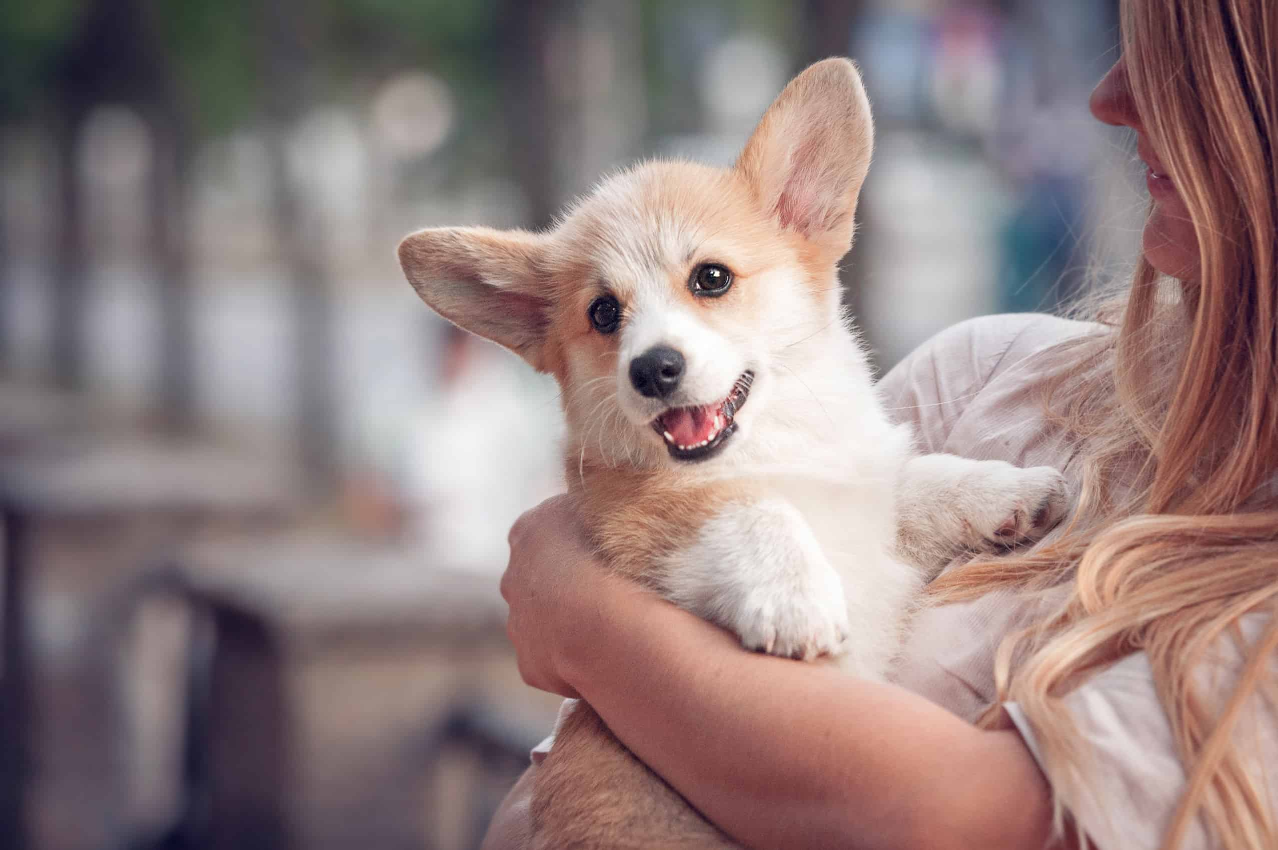 cute corgi puppy in mum's mom's arms - but is she really feeling that smile? Or is she nervous or anxious behind it?