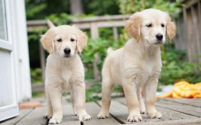 22 Most Popular Names for Golden Retrievers