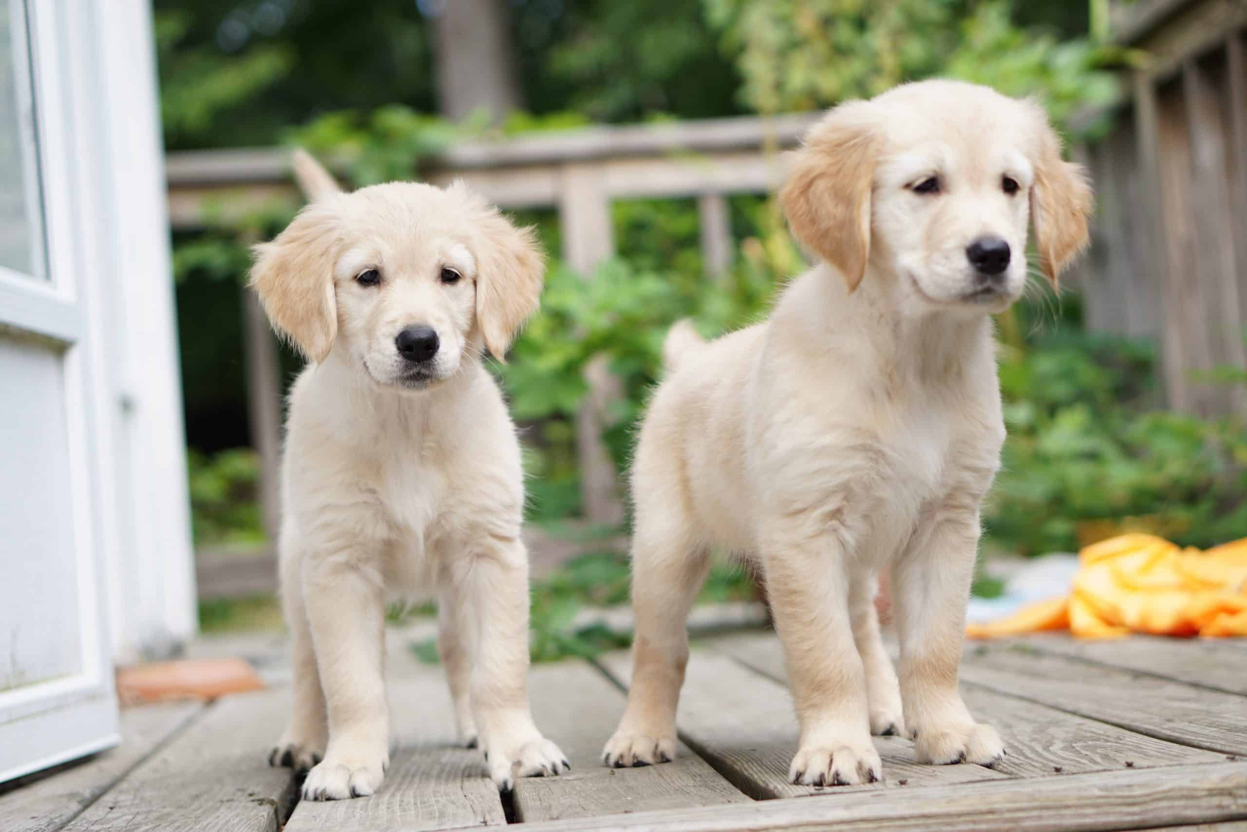 2 month old golden retriever puppies who need names! Is one of these going to be one of them? What a great name for a puppy!