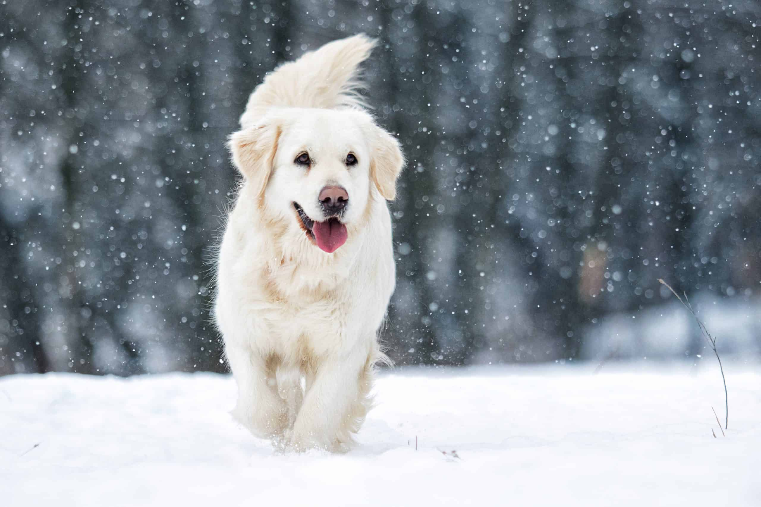 Golden retriever in the snow; how do you pick your name for your puppy?
