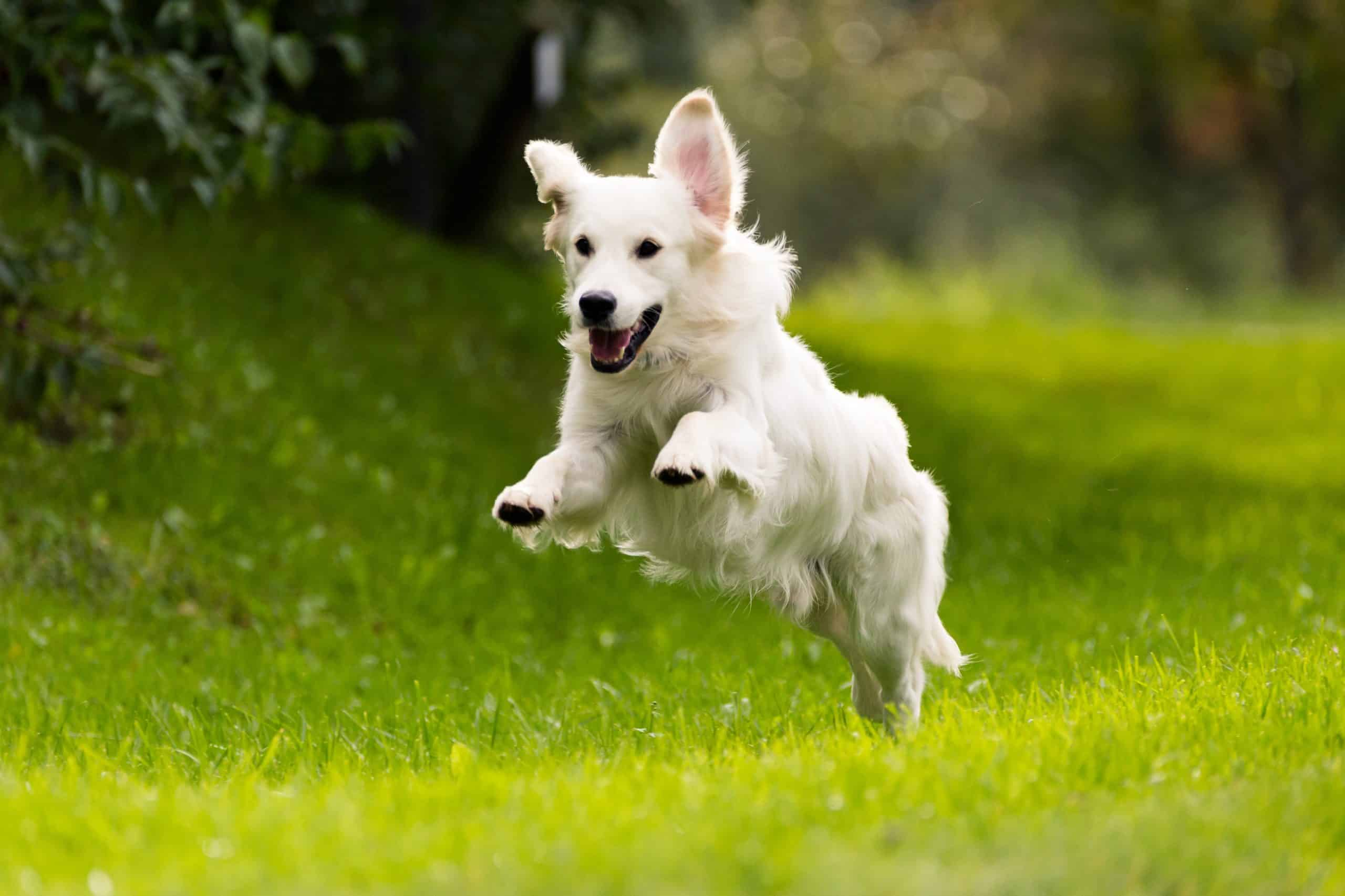 Golden Retriever Jumping While Running; how do you pick your name for your puppy?