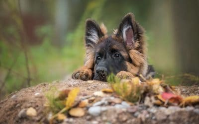 22 Most Popular Names for German Shepherds