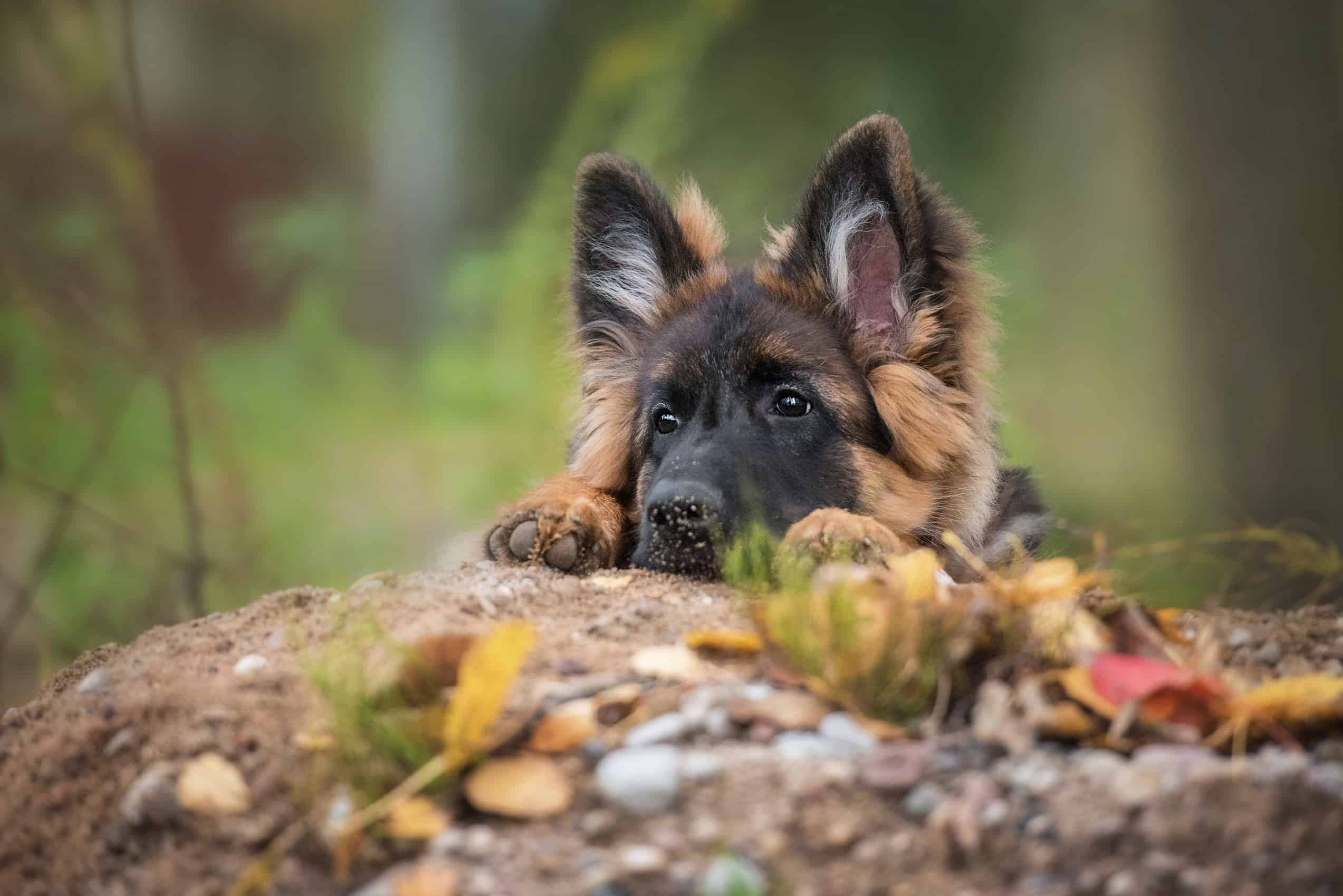 picking the perfect name for a german shepherd puppy from these twenty two popular names