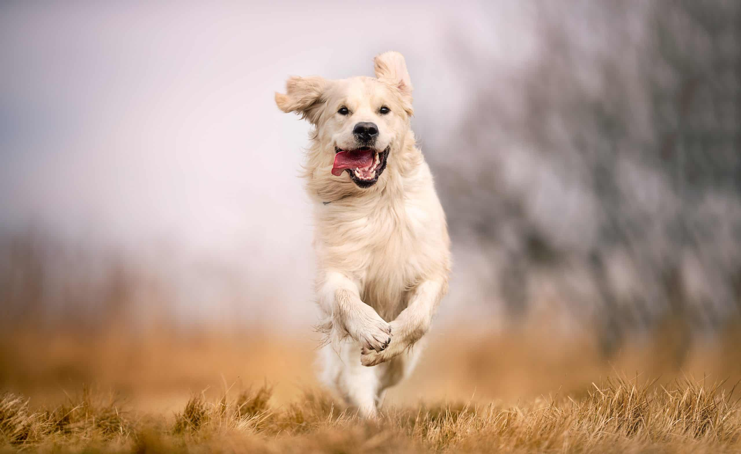 golden retriever running through field; how do you pick your name for your puppy?