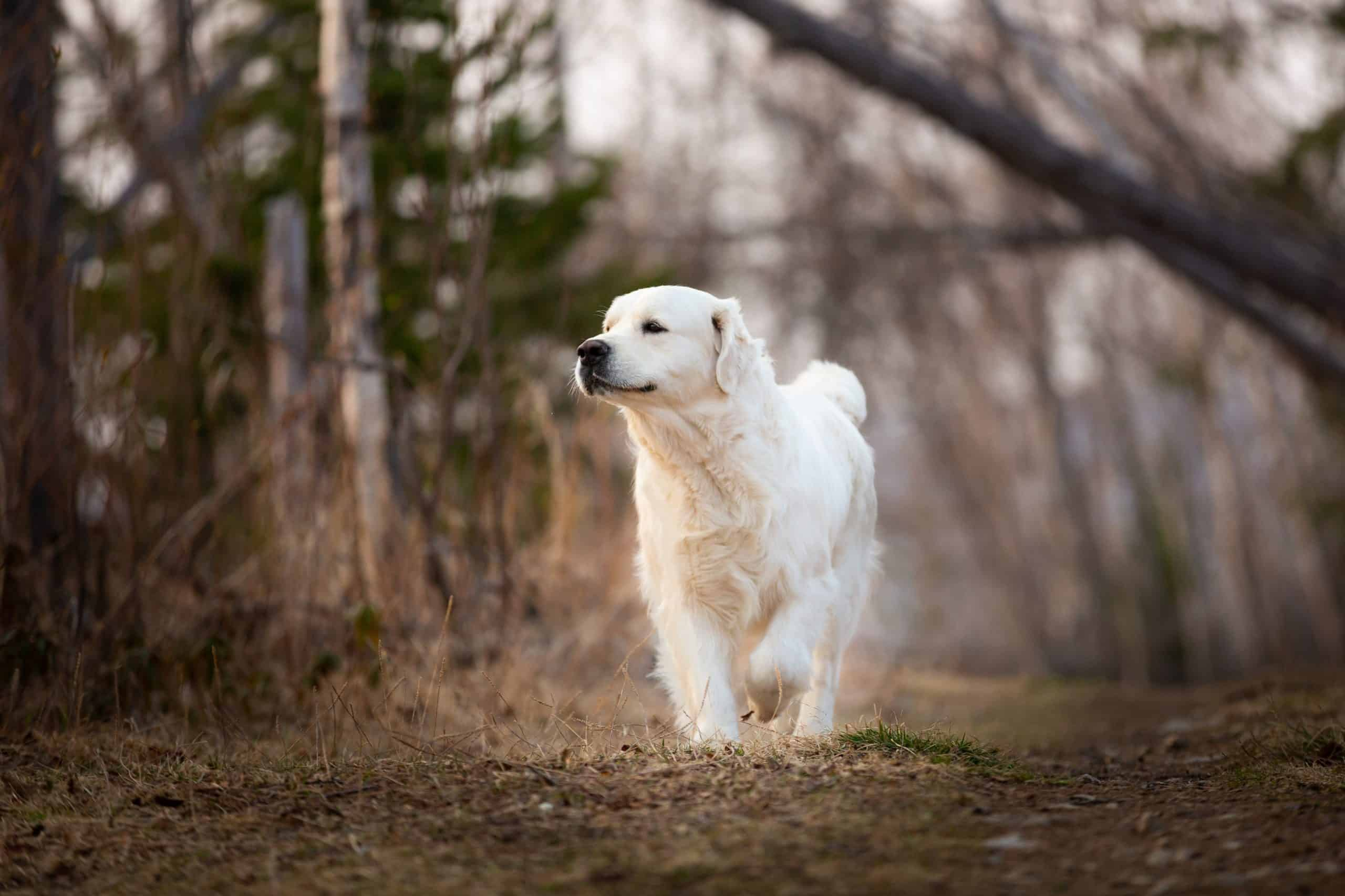 Cute and happy dog breed golden retriever running in forest and has fun at sunset; how do you pick your name for your puppy?