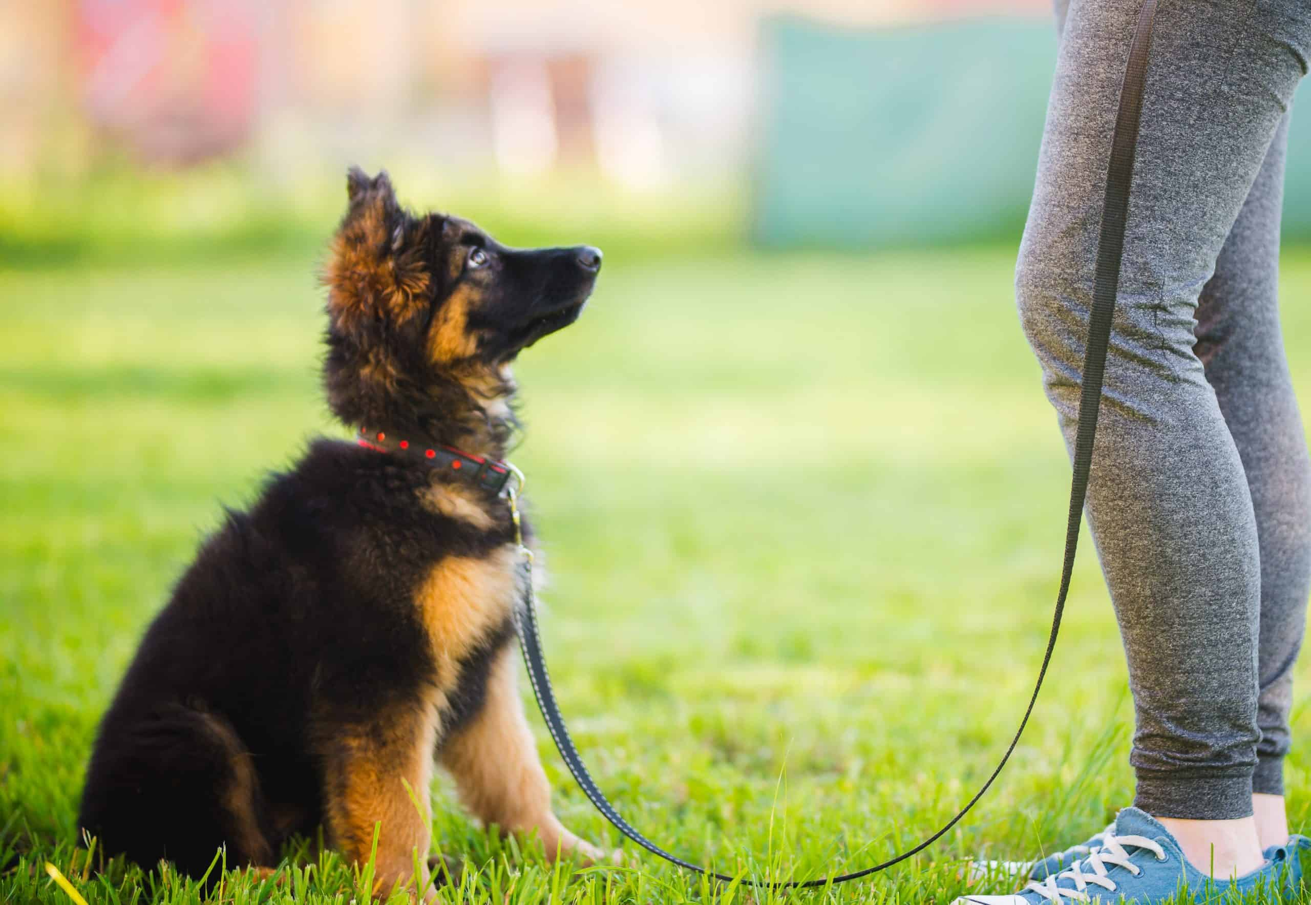 german shepherd puppy at a training class