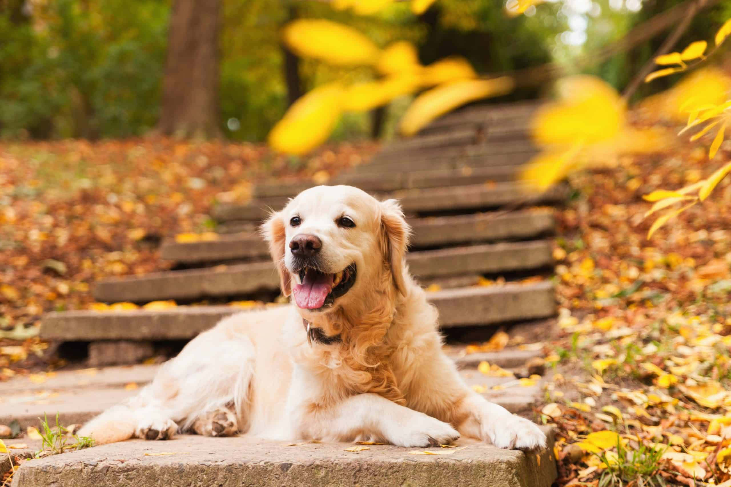Adorable young golden retriever puppy dog sitting on concrete stairs near fallen yellow leaves. Autumn in park. Horizontal, copy space. Pets care concept; how do you pick your name for your puppy?
