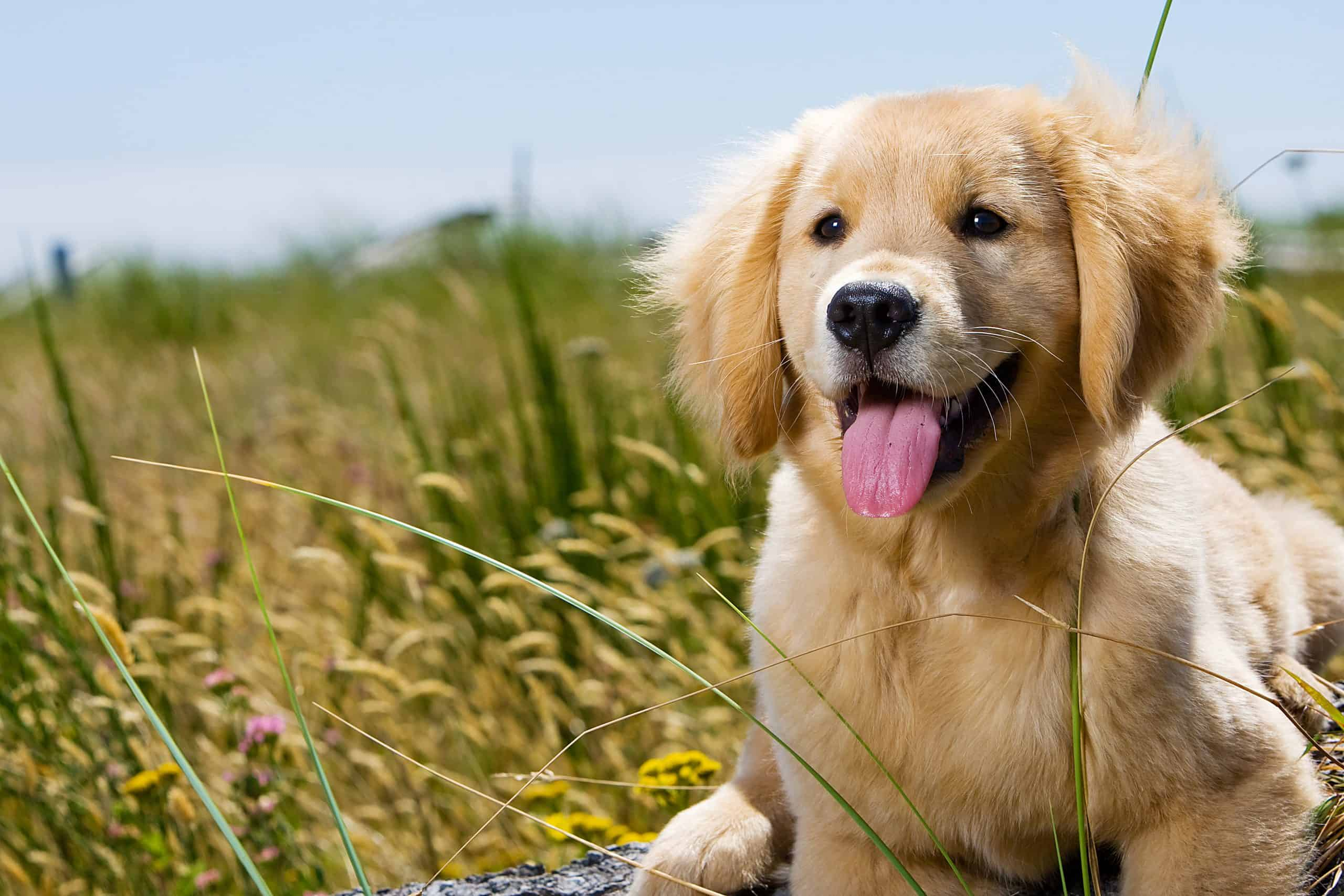 Golden Retriever Puppy with tongue hanging out.; how do you pick your name for your puppy?