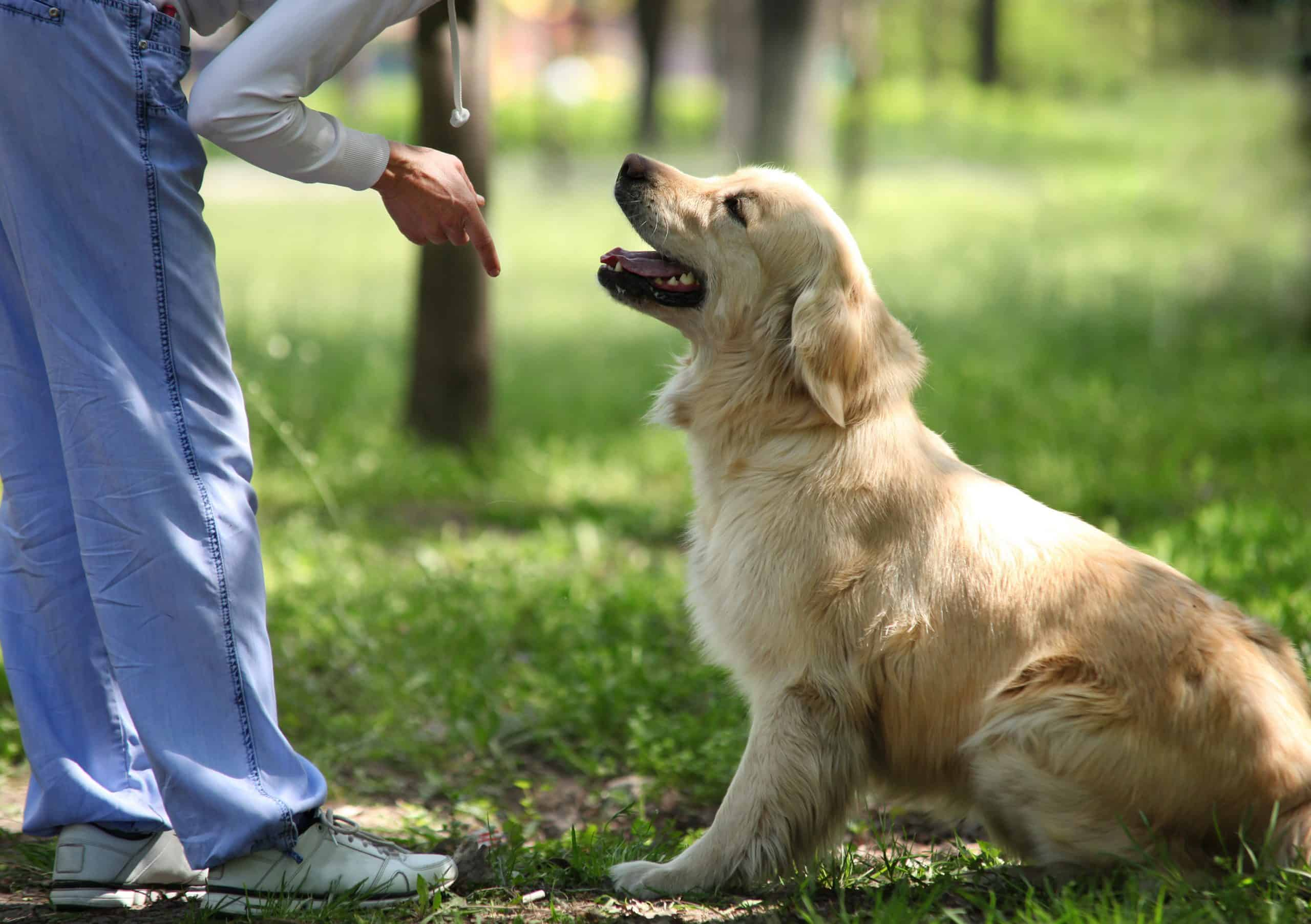 golden retriever learning how to sit with a trainer in class