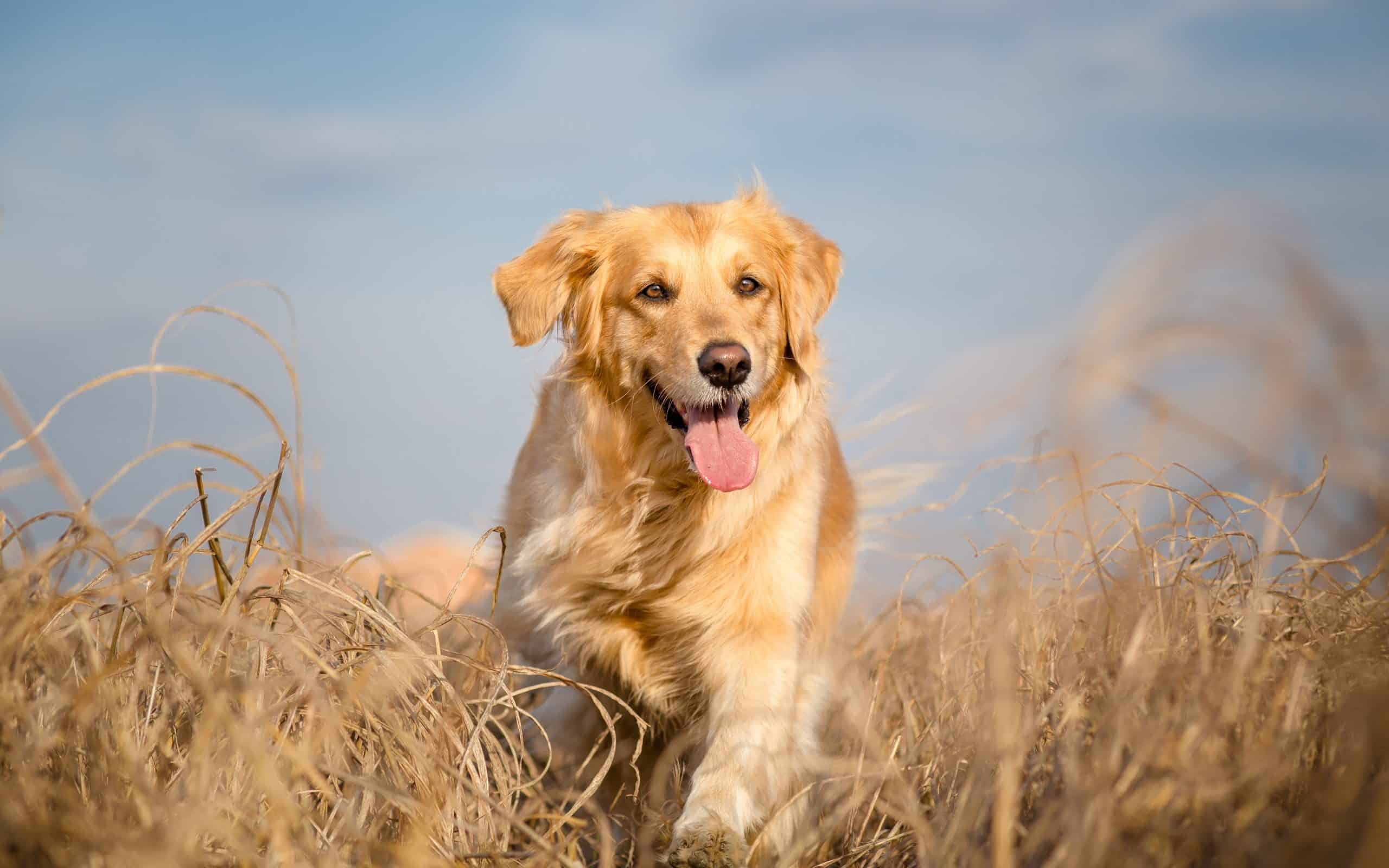 Golden retriever dog running outdoor; how do you pick your name for your puppy?