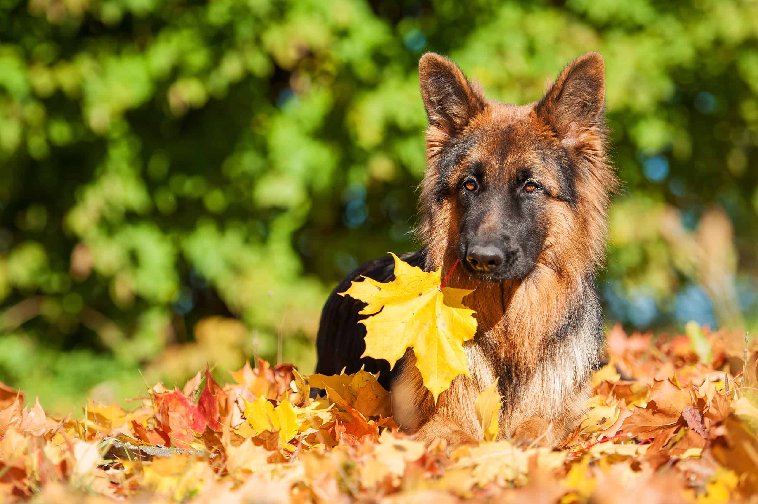 Apollo lounging in autumn leaves. Thinking of naming your german shepherd dog? these names are great!