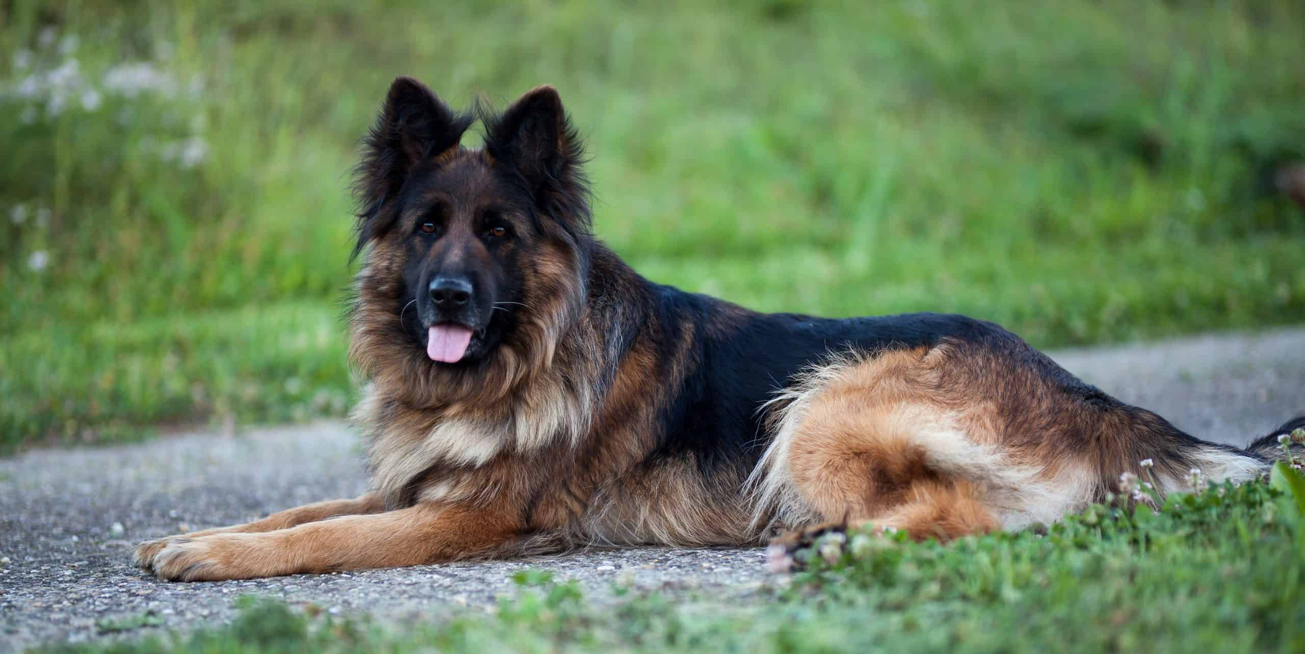 He looks like a Leo, right? thinking of naming your german shepherd dog? these names are great!
