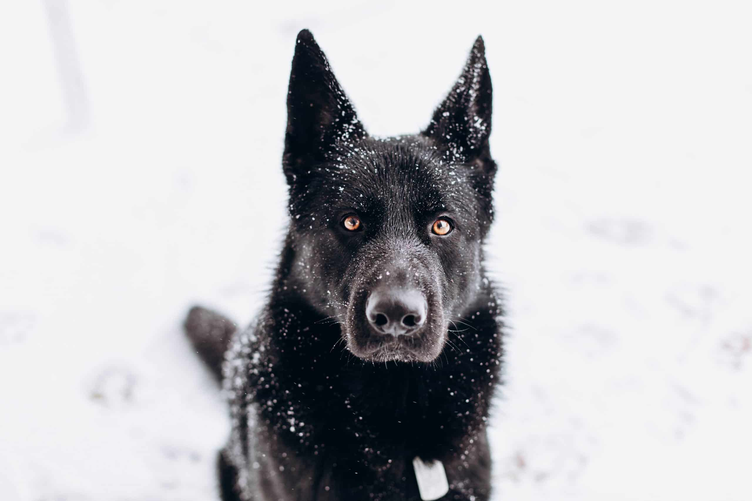 Max the German shepherd, the greatest name of them all for this regal breed