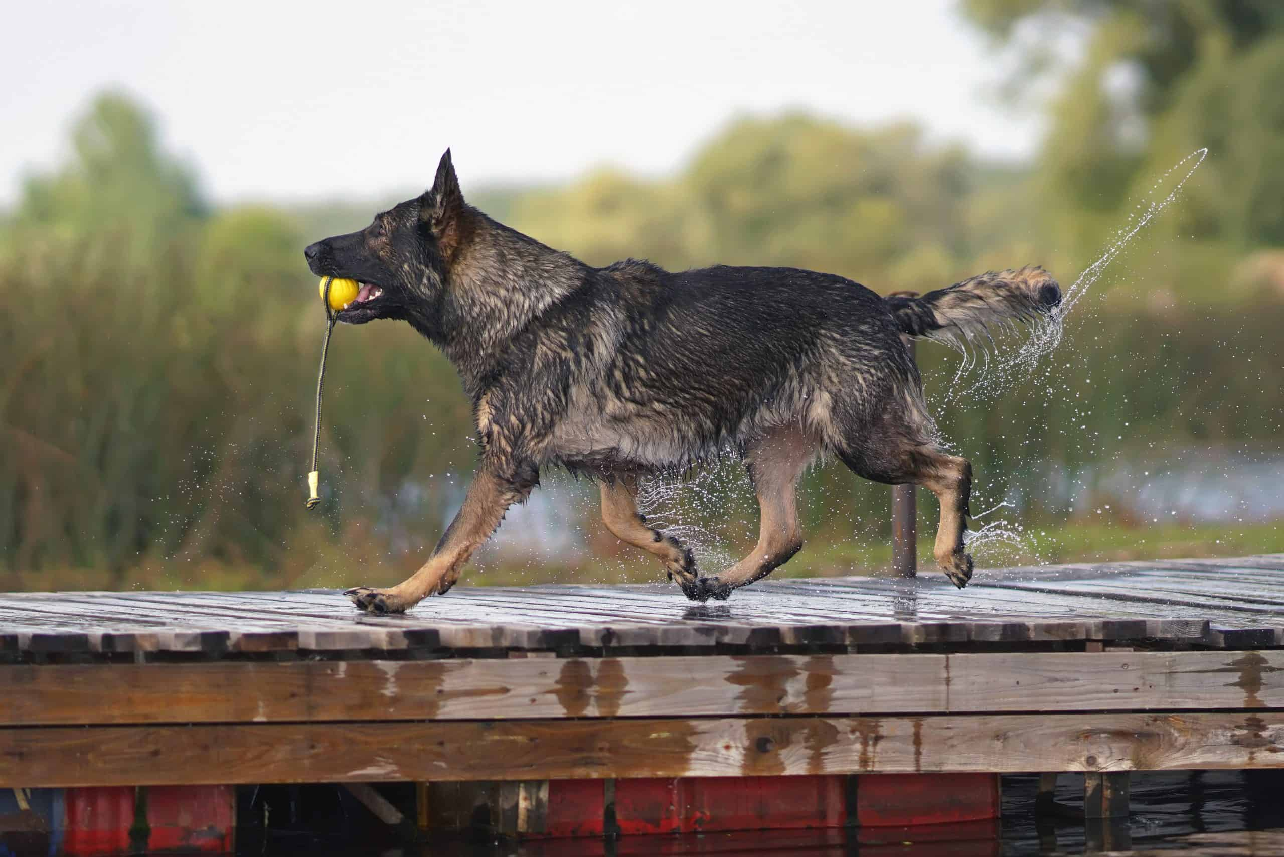 Nala enjoying a trot along the dock with her favourite toy, german shepherds names are so important
